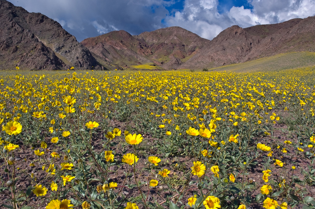 Field of yellow flowers with a background view of mountains.