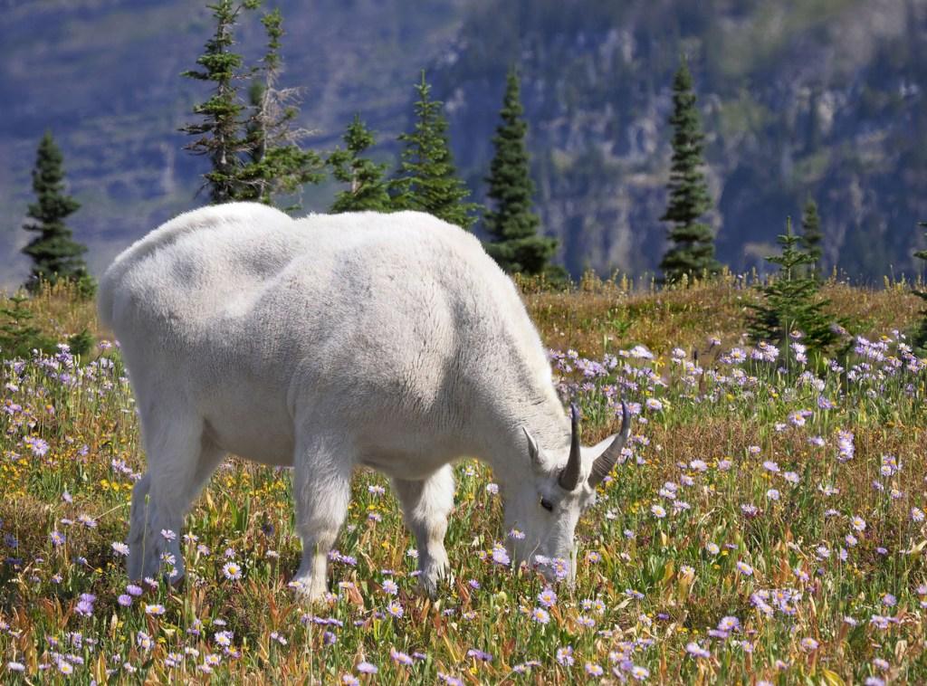 white goat grazing among the wildflowers.