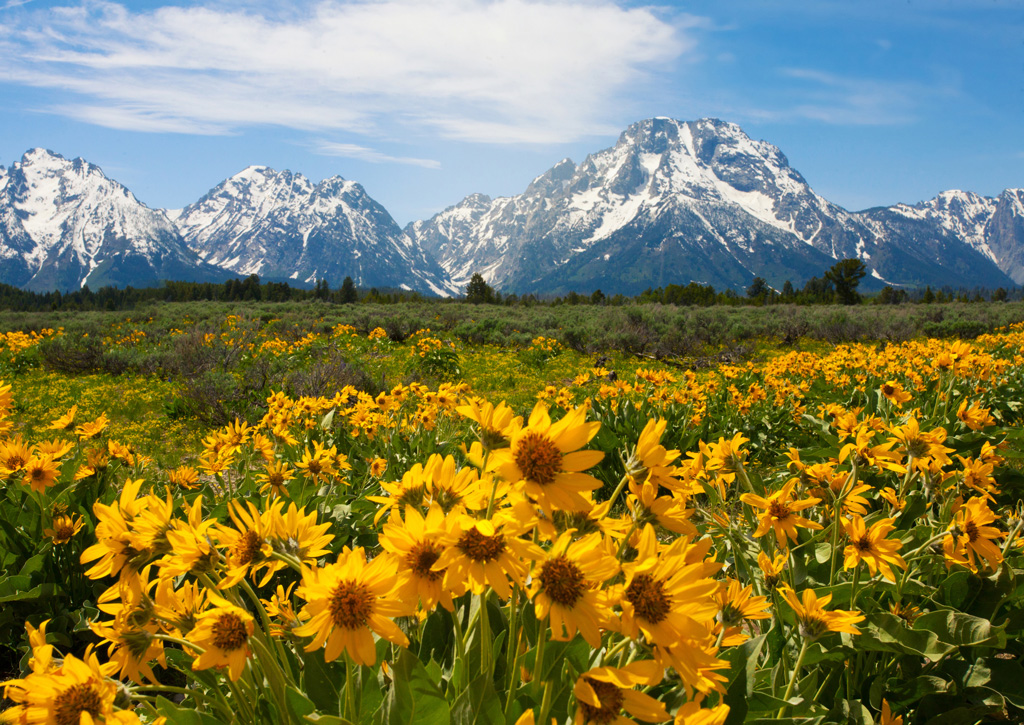 Field of sunflowers with a view of the mountains and blue and white skies.