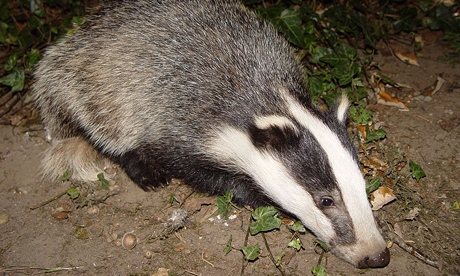 The badger: one of Britain's most loved animals. Photograph: BadgerHero/Wikipedia