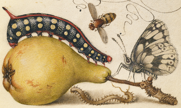 Joris Hoefnagel's illumination of a caterpillar, from Mira calligraphiae monumenta (c. 1561)