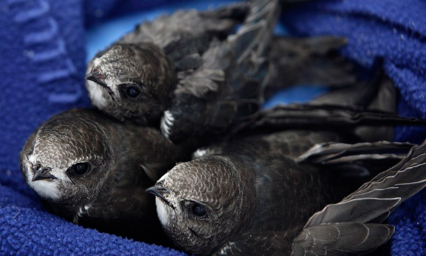 Swifts, on a rare occasion when they are not flying high. Photograph, and those below: Deborah Lauterpacht