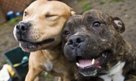 Staffie dogs Hackney
