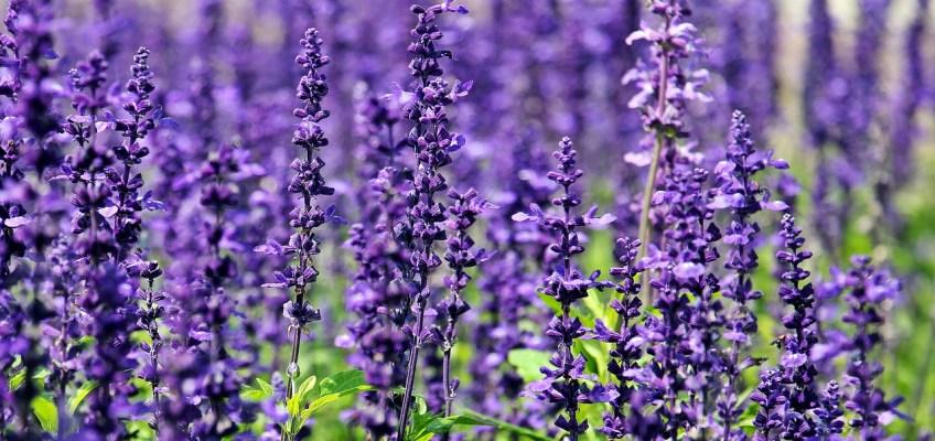 Plantes aromatiques, plante compagne, plants bio, potager, st renan, brest