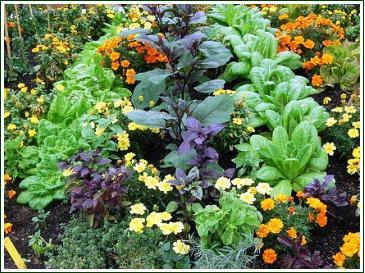 Plantes compagnes, permaculture, plants bio, potager bio, st renan, brest