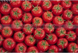 Tomate, plants
