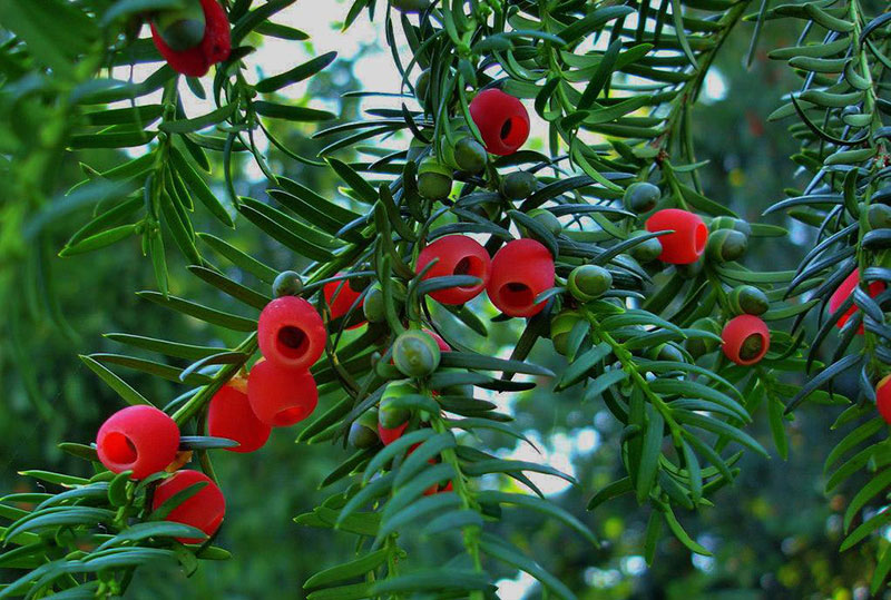 Supercritical CO2 Extraction Taxus chinensis Leaves