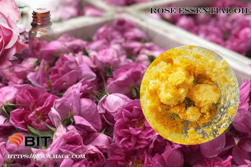 Supercritical CO2 extraction of rose essential oil