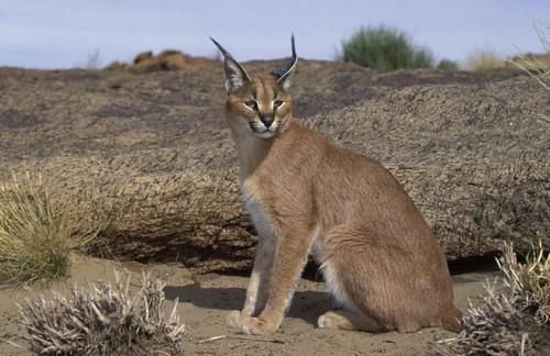 حيوان بري يسمى سنور الجبل وهو أصغر من النمر تعرف عليه الآن