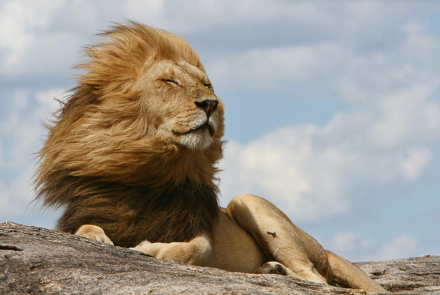 ما اسم الشعر بين كتفي الاسد تعرف على فائدة هذا الشعر لملك