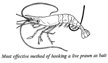 Image result for how to hook live prawn bait