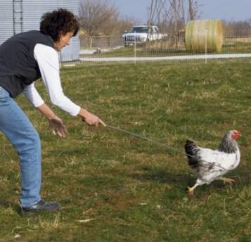 Catching Chicken Using A Hook