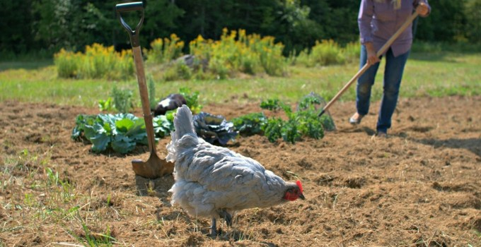 Chicken Manure Compost