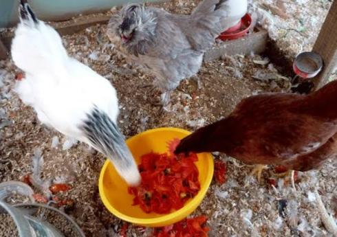 Chickens Eat Tomatoes