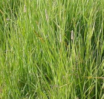 What Do Sheep Eat: Timothy Grass