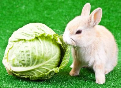 Cabbage for Rabbits