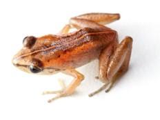 Haïti - Écologie : Redécouverte d'amphibiens disparus depuis 1991