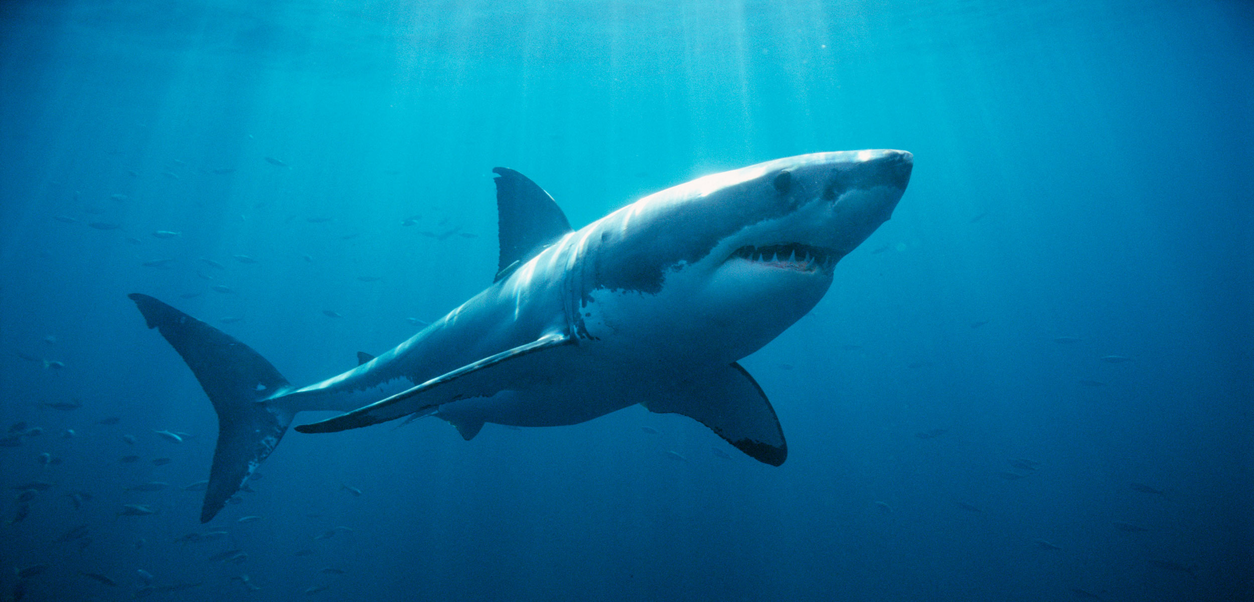 The Deep Sea Adventures Of Lydia The Great White Shark