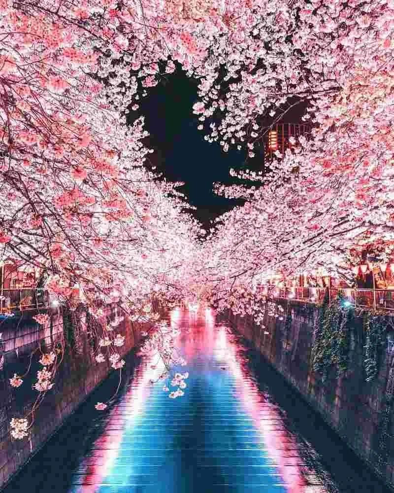 Enjoy Cherry Blossom Season Little Earlier Than Before 1