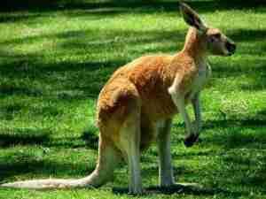Is Kangaro Halal