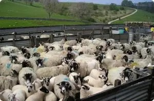 uk-sheep-farming