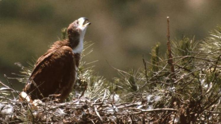 Una de estas aves rapaces en peligro de extinción en su nido
