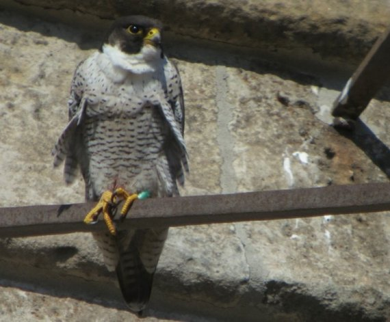 halcón peregrino foto