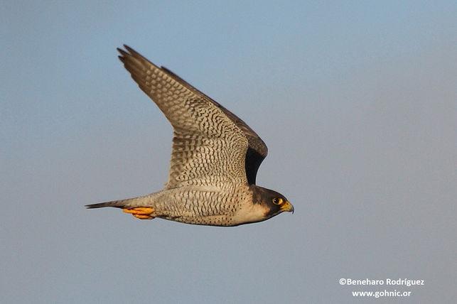 En la imagen, un ejemplar en vuelo del halcón de 'Berbería' o 'tagarote'. Foto: BENEHARO RODRÍGUEZ