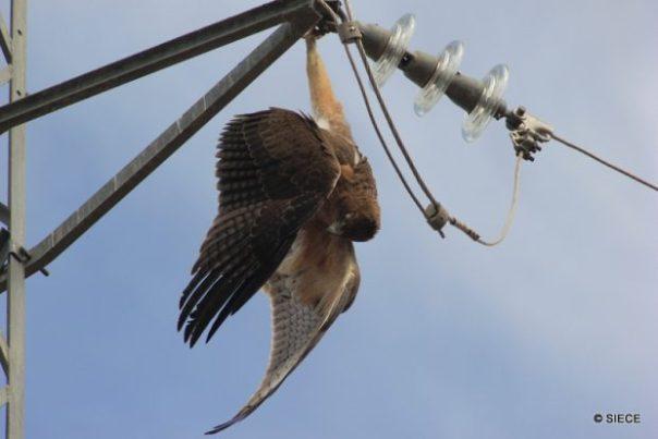 Joven de águila perdicera electrocutado en un tendido.