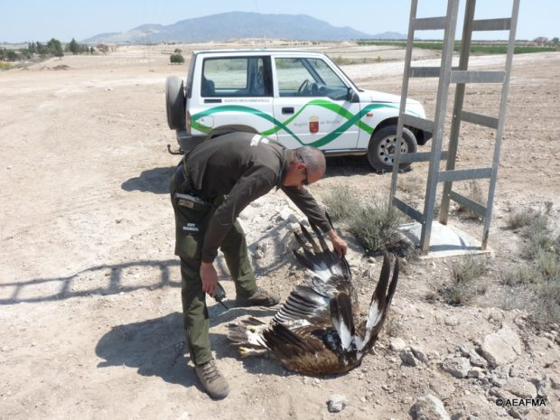 Un agente de medioambiente observa un águila real muerta bajo un tendido eléctrico.