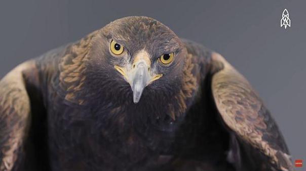 La serie Great Big Story contó la historia de 'redención' del águila real como parte de su sección Planet Earth. (Foto: YouTube)