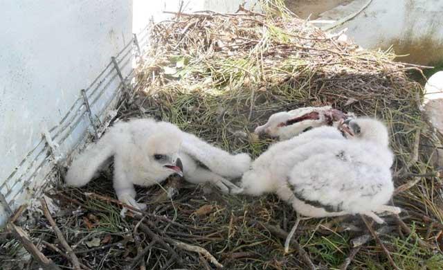 pollos de águila perdicera en cautividad