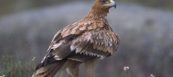 Ejemplar de águila imperial ibérica / Juan Martín Simón