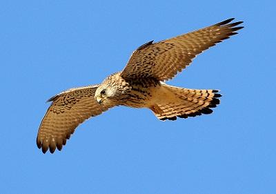 cernícalo primilla (Falco naumanni )