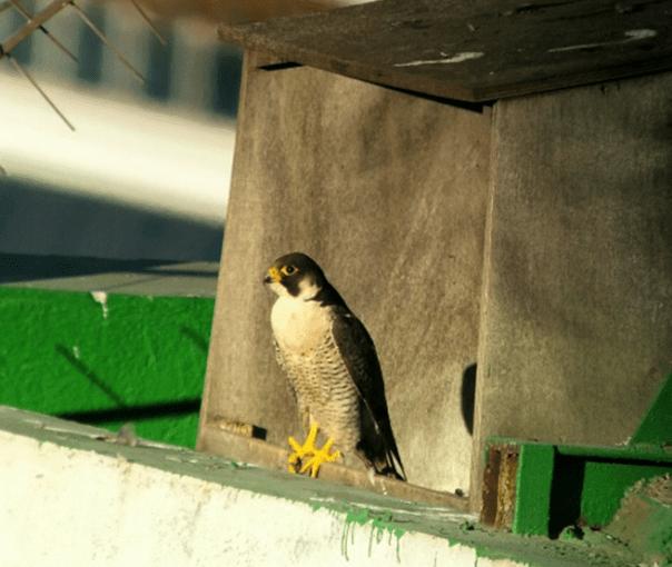Un macho adulto delante de la caja-nido (LV)