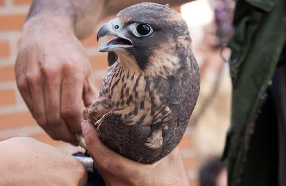 Pollo de halcón peregrino