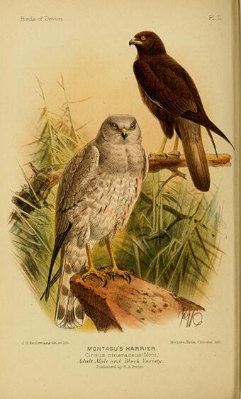 Pareja de Aguilucho cenizo (Circus pygargus) | Autor: Biodiversity Heritage Library