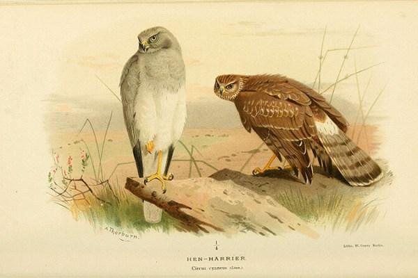 Pareja de Aguilucho pálido (Circus cyaneus) | Autor: Biodiversity Heritage Library