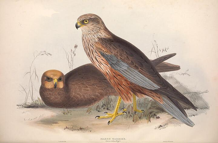 Pareja de Aguilucho lagunero occidental (Circus aeruginosus) | Autor: Biodiversity Heritage Library ·