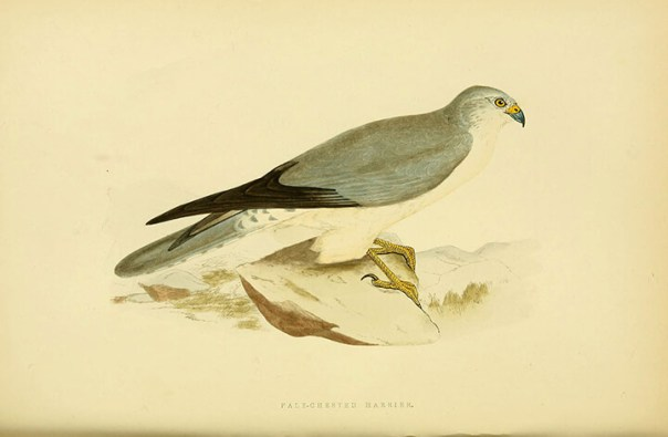 Aguilucho papialbo (Circus macrourus) | Autor: Biodiversity Heritage Library