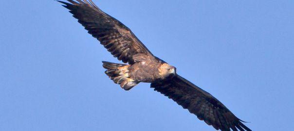 Un águila real en pleno vuelo By Juan Lacruz - Own work