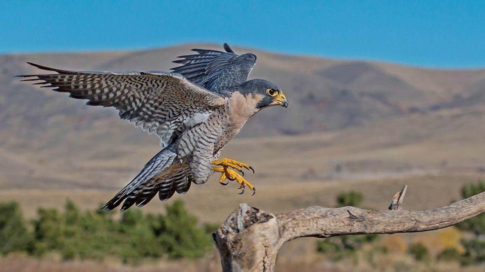 Halcón peregrino, el ave que caza a más de 300 kilómetros por hora