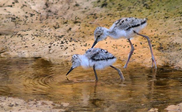 Crías de cigüeñuela en el borde de la laguna de Padul / J. E. GÓMEZ