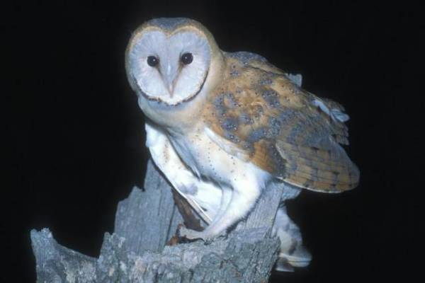 La lechuza común ha sido elegida por SEO/Birdlife ave del año 2018 por el declive que sufre esta especie protegida.Tatavasco