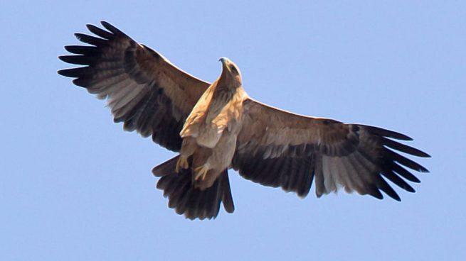 Águila imperial ibérica, la reina de los cielos españoles