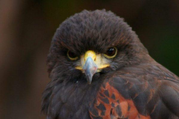 Águila Harris