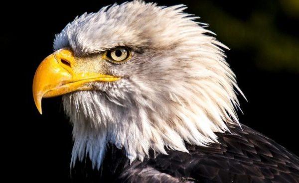 Águila Calva o Pigargo Americano