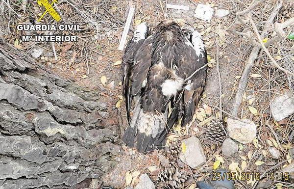Imagen del águila imperial hallado muerto en 2016 al sur de la provincia de Badajoz. :: HOY