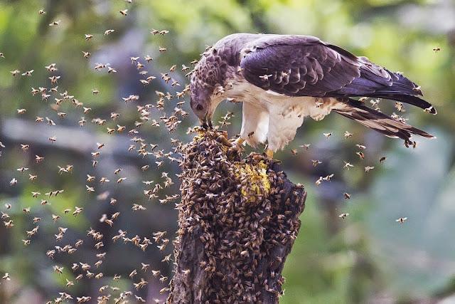 El halcón abejero utiliza herramientas para desparasitarse