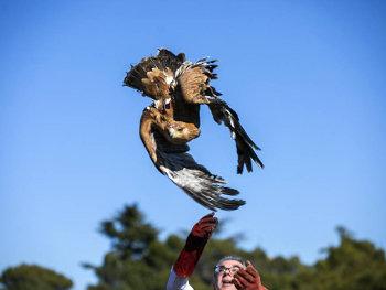 El águila imperial vive uno de sus mejores momentos desde los años 50
